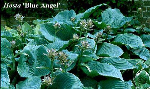 hosta blue angel large blue leaves garden plant ebay. Black Bedroom Furniture Sets. Home Design Ideas