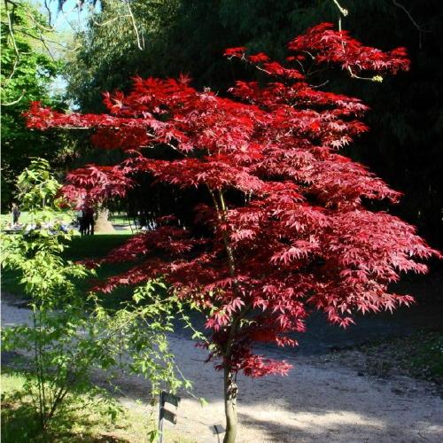 acer palmatum atropurpureum fresh seeds good for bonsai or specimen tree ebay. Black Bedroom Furniture Sets. Home Design Ideas