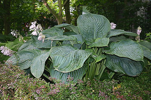 Details About New Hosta Empress Wu Giant Of A Garden Plant Sent Out Ex 35 Litre Pot