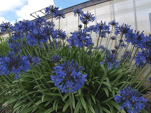Agapanthus Blue Magic Hardy To 23c Garden Perennial Plant Ebay