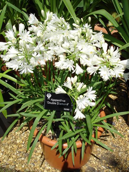 3 Agapanthus Double Diamond Double White Flowers Garden