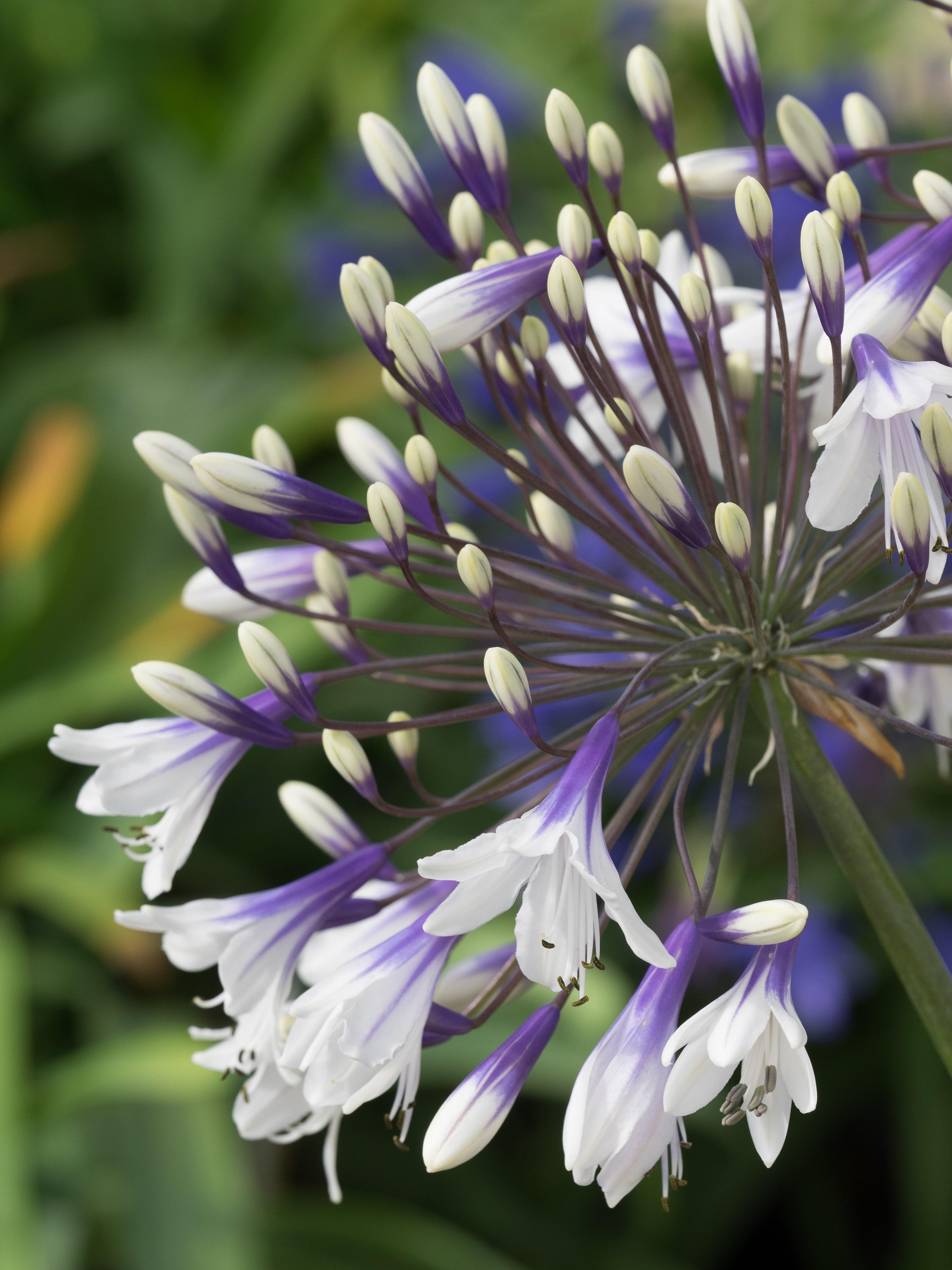 New Agapanthus Fireworks Bicolour Flowers Garden Plant Ebay