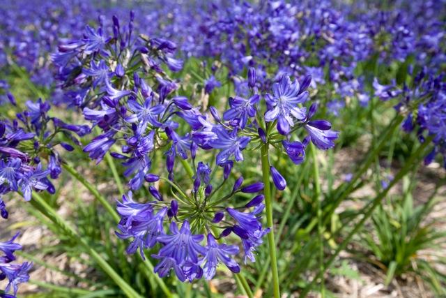 AGAPANTHUS BLUE MAGIC Hardy a 23 C da giardino pianta perenne