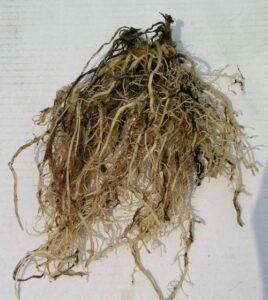 Hosta Root