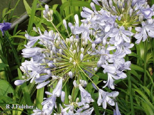 Agapanthus African Moon