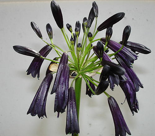Agapanthus inapertus Black Magic