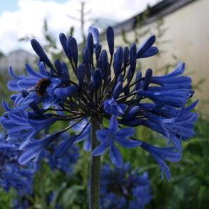 Agapanthus Blue Magic