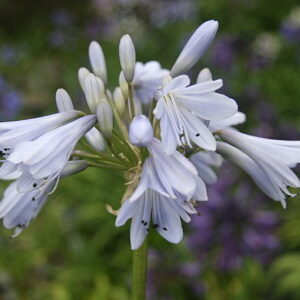 Agapanthus Blue Moon
