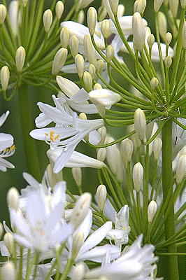Agapanthus Bridal Bouquet