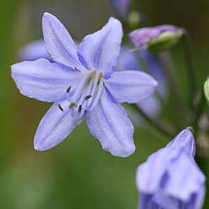 Agapanthus Cally Pale Blue (OS)