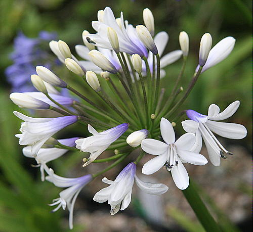 Agapanthus Cloudy Days