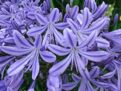 Agapanthus Delft Blue