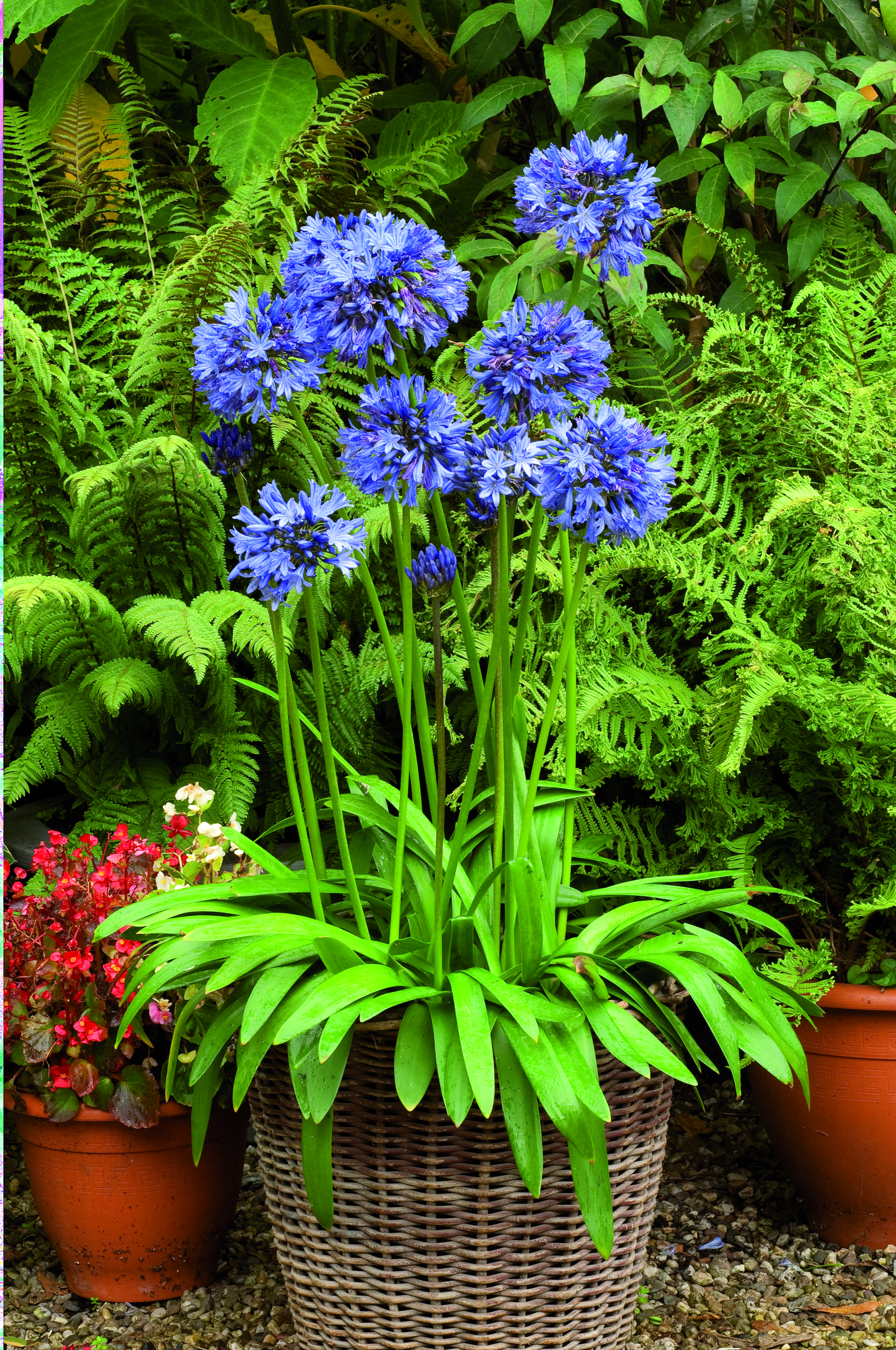 Agapanthus Early Blue