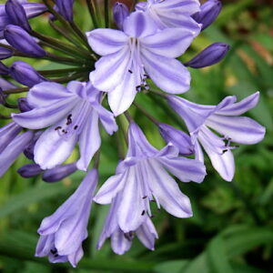Agapanthus Ethel's Joy