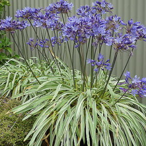 Agapanthus Gold Strike ®