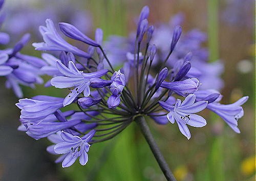 Agapanthus Greenfield