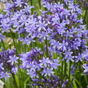 Agapanthus Happy Blue ®