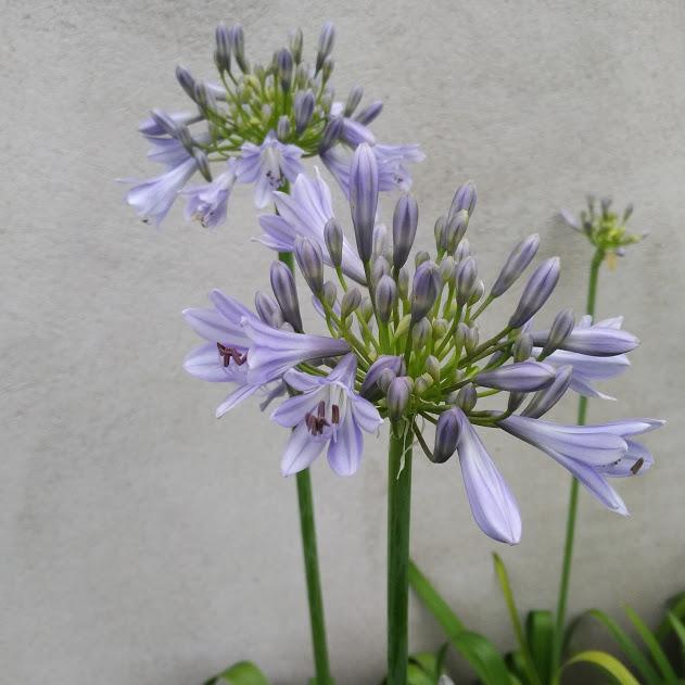 Agapanthus Hoyland Blue