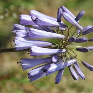 Agapanthus inapertus Blue Steel