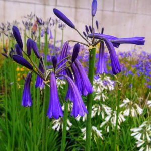 Agapanthus inapertus Northern Lights
