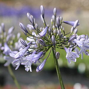 Agapanthus Ice Blue Star