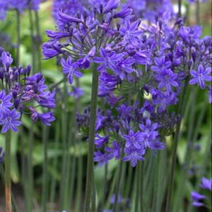 Agapanthus Inkspots
