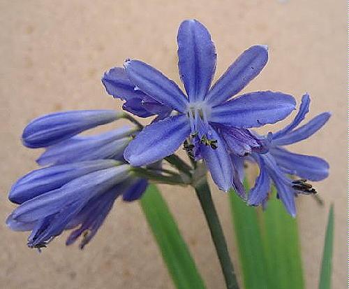 Agapanthus Lapis Lazuli (P)
