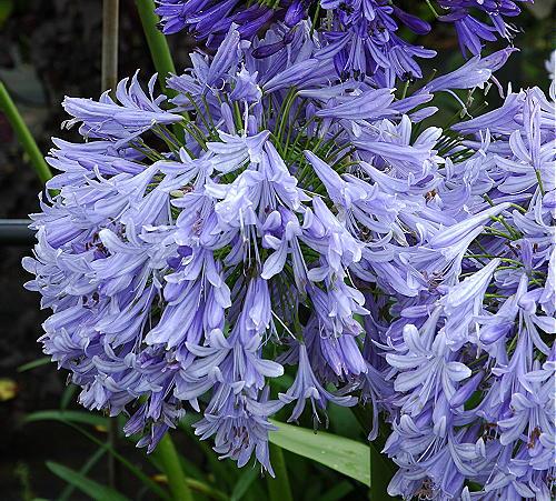 Agapanthus Lavender Haze