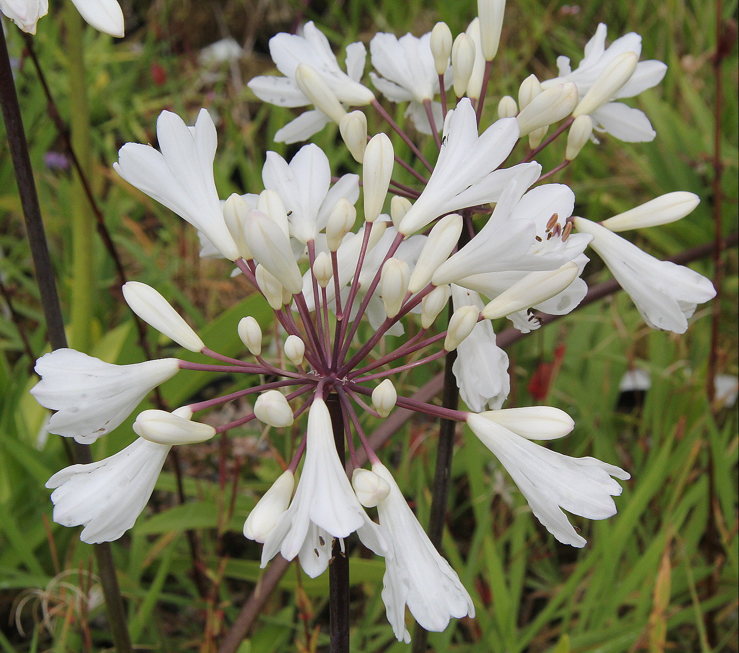 Agapanthus Leicester