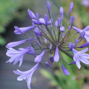 Agapanthus Los Angeles