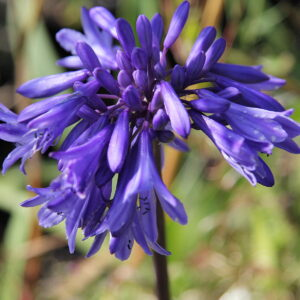 Agapanthus Messina