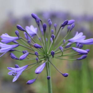Agapanthus Monique