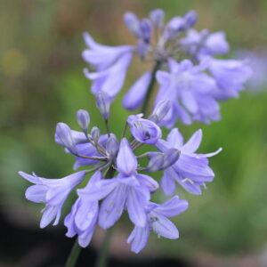 Agapanthus New Castle