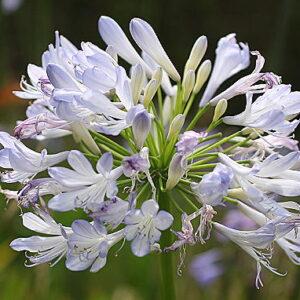 Agapanthus Phantom rare plant