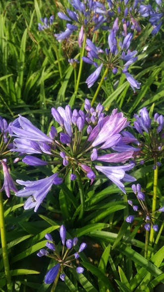 Agapanthus Pitchourne® Scrarey Blue