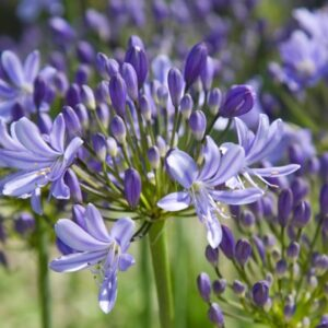 Agapanthus Pretty Sandy ®
