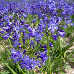 Agapanthus Pretty Wendy ®