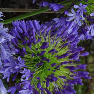 Agapanthus Regal Beauty