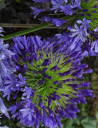 Agapanthus Regal Beauty