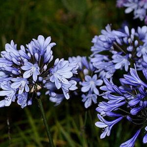 Agapanthus Plas Merdyn Blue
