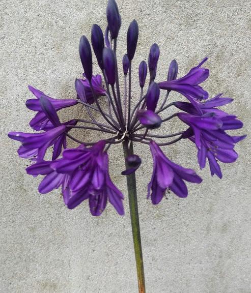 Agapanthus Royal Velvet