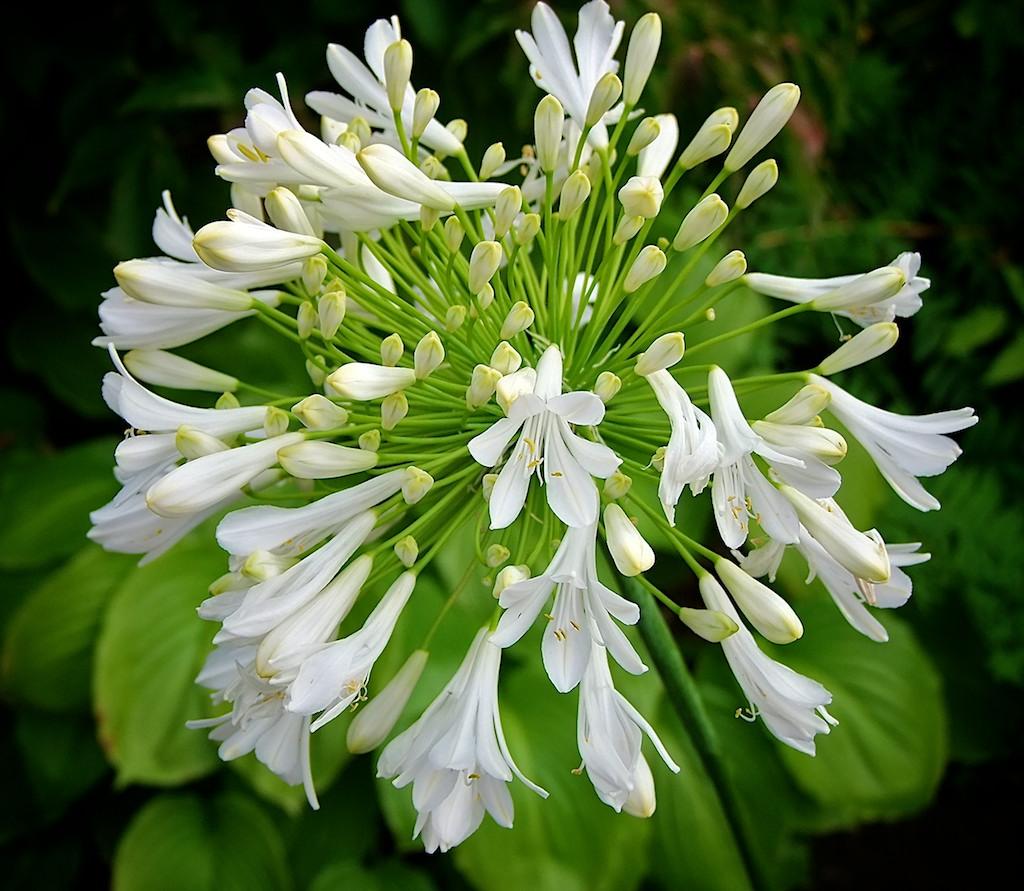 Agapanthus Starburst White