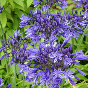 Agapanthus Stardust