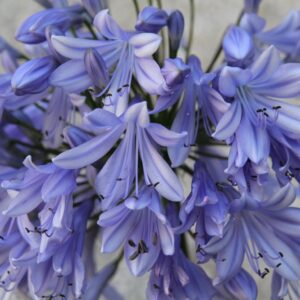 Agapanthus Storm Cloud