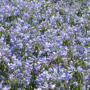 Agapanthus Summer Blue