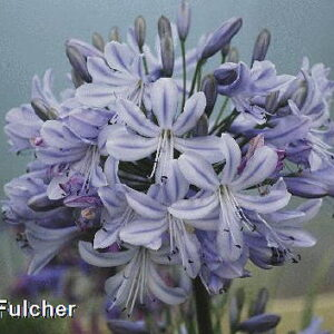 Agapanthus Summer Days
