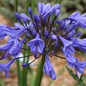Agapanthus Tom Thumb