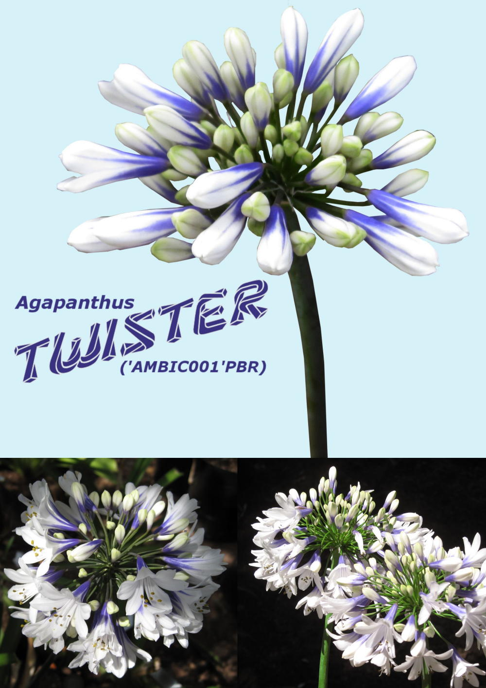 Agapanthus Twister  PBR
