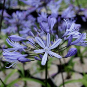 Agapanthus Vallee De L'Authion