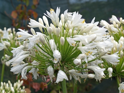 Agapanthus Wedding Day